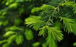 Cool Pine Wallpaper 31447 1680x1050 px