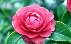 A pretty pink camellia rose HQ WALLPAPER - (#140303)