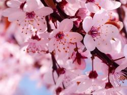 Flowers Pink Cherry Blossom