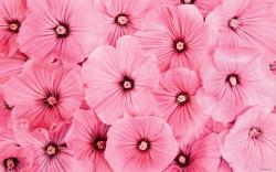 Pink Flowers Images For Desktop 5 HD Wallpapers