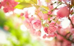 Pink flowers bush