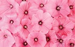 Pink Flowers Wide Desktop Background