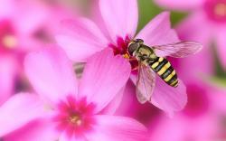 Pink flowers bee