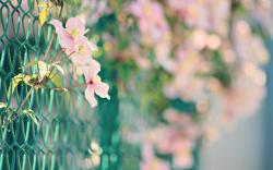 Nature flowers fences bokeh macro chain link fence pink flowers wallpaper background