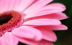 pink flower desktop picture