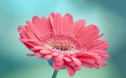 Pink gerbera hd