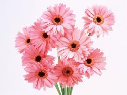 Tag Archives: pink gerberas