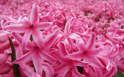original wallpaper download: Pink hyacinth flower in spring garden - 1920x1200