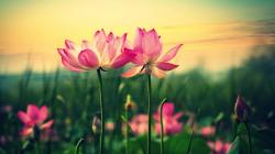 Description: The Wallpaper above is Pink lilies hd Wallpaper in Resolution 1920x1080. Choose your Resolution and Download Pink lilies hd Wallpaper