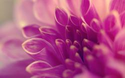Pink Dahlia Macro Wallpaper Awesome Wallpaper