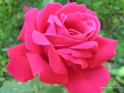 Deep Pink Rose. Deep Pink Rose