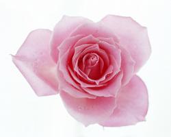 ... Pink Rose 05 ...