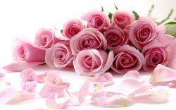pink roses wallpapers – 2560 x 1600 pixels – 431 kB