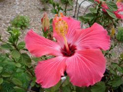 Image for Pink Tropical Flower