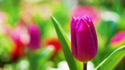 Description: The Wallpaper above is Pink tulip macro Wallpaper in .