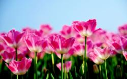 Pink Tulips 1307