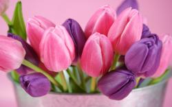 Cute Flower Wallpaper; Pink Tulips; Pinocchio
