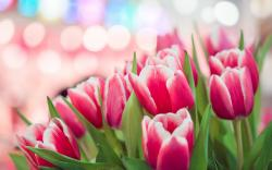 Spring Pink Tulips Bokeh HD Wallpaper