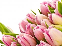 Description: The Wallpaper above is Pink tulips hd Wallpaper in Resolution 1920x1440. Choose your Resolution and Download Pink tulips hd Wallpaper