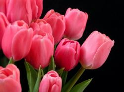 Pink Tulips Flowers (15)