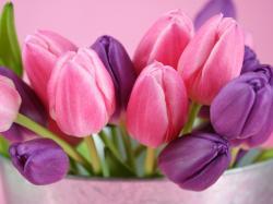 Pink Tulips HD Wallpaper2