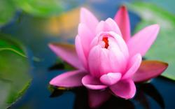 Pink water lily hd