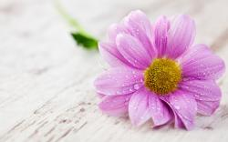Pink wet flower hd