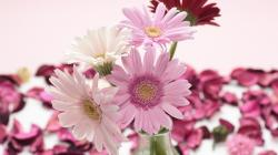 Description: The Wallpaper above is Pink white gerbera Wallpaper in Resolution 1920x1080. Choose your Resolution and Download Pink white gerbera Wallpaper