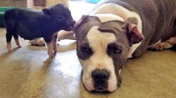 Cute Piglet Is Best Friends With Pit Bull Terrier Rescue Dog