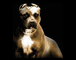 Pitbull dog pitbull wallpapers pictures new fresh images of pitbull dog free download