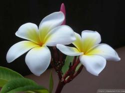 Wallpaper: Two plumeria flower wallpapers
