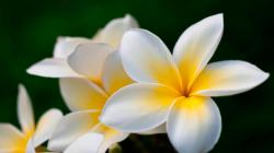 Plumeria for roxane HQ WALLPAPER - (#92944)