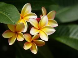 Wallpapers Plumeria Flowers Plumeria Flowers. Wallpapers Plumeria Flowers