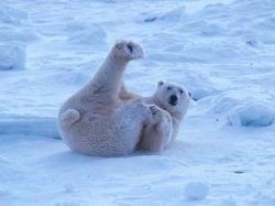 Polar Bear pictures from Gallery 2