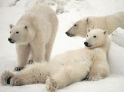 Happy Polar Bear Family Wallpaper animals on Pinterest husky