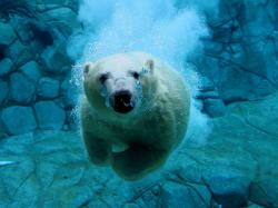 Underwater Swimming Polar Bear (click to view)