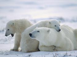 Adorable Polar Bear Wallpaper ...
