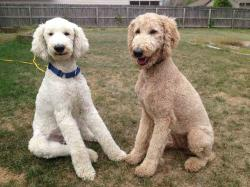 "Do people call your apricot poodle BROWN?""the brown one there."