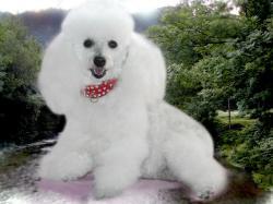 Poodle Wallpaper