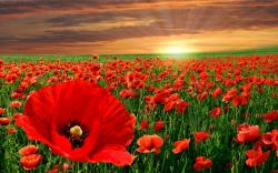 The Poppy Flower And It's Significance To Memorial Day
