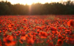Flowers nature poppies red flowers sunset 2560x1600