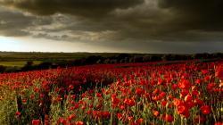 Poppy Field Wallpaper 32146 1920x1200 px