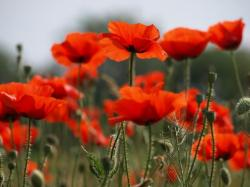 Poppy Flower Images 37 HD Wallpapers