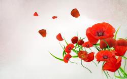 Poppy - flowers Wallpaper