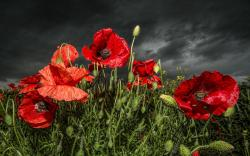 Poppy flowers HQ Wallpaper