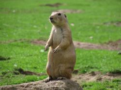 Prairie; Prairie Dog ...