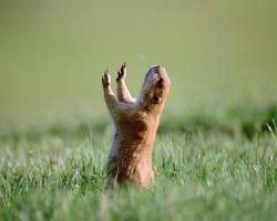 prayer-prairie-dog ...