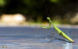 1920x1200 Animal Praying Mantis