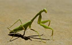 HD Wallpaper | Background ID:260407. 1920x1200 Animal Praying Mantis
