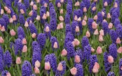 Pretty Hyacinth Flowers